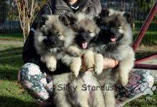 Inzercia psov: Nemecký špic vlčí - Keeshond - Wolfspitz