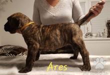 Inzercia psov: Kanárska doga