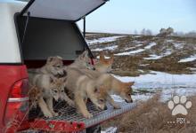 Inzercia psov: Štěňata československého vlčáka s PP