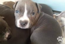 Inzercia psov: Ponúkam na predaj šteniatka Amerického Staforda mo
