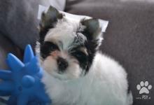 Inzercia psov: Biewer Yorkshire terrier - psík s PP