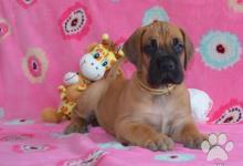 Inzercia psov: Německá doga žlutá