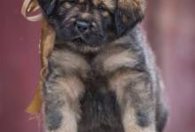Inzercia psov: Tibetská doga štěňata s PP FCI