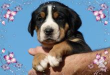 Inzercia psov: veľký švajčiarsky salašnícky pes predaj