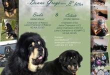 Inzercia psov: Tibetská doga - exkluzivní štěňata s PP