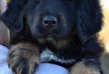 Inzercia psov: Tibetská doga štěňata s PP