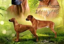Inzercia psov: Rhodesian Ridgeback šteniatka s PP