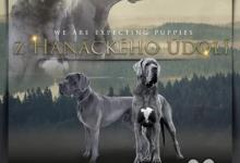 Inzercia psov: Německá doga, štěňata s PP