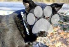 Inzercia psov: Trend krásny čierny kríženec ovčiaka