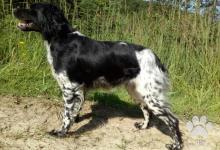 Inzercia psov: Bretaňský ohař - štěně s PP