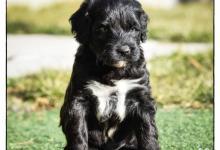 Inzercia psov: Portugalský vodný pes s PP - posledný voľný psík