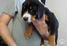 Inzercia psov: Veľký švajčiarský salašnícky pes s PP