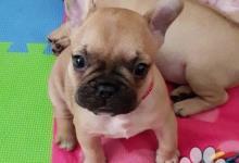 Inzercia psov: Rozkošný Kc francúzsky buldoček šteňatá