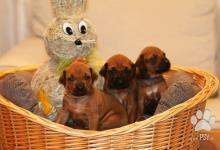 Inzercia psov: Rodézsky ridžbek šteniatka