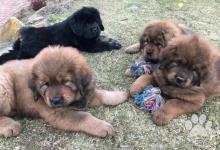 Inzercia psov: Tibetská doga s čínskou krvou s PP