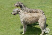 Inzercia psov: Irský vlkodav