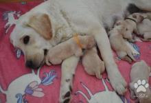 Inzercia psov: Labrador - žlté šteniatka s PP