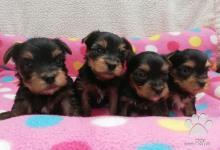 Inzercia psov: Yorkšírský terier, štěňátka MINI BABY FACE