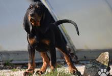 Inzercia psov: Black and Tan Coonhound