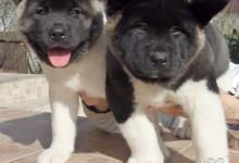 Inzercia psov: Predám štěnia americkej akity s PP