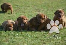 Inzercia psov: Dogue de Bordeaux, French mastiff, Bordo doga