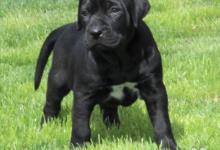 Inzercia psov: Tosa inu černá štěňata s PP