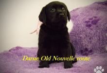 Inzercia psov: šteniatka Old Nouvelle route vrh D