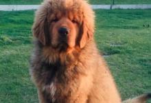 Inzercia psov: Tibetská doga štěňátka s PP