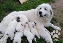 Inzercia psov: Pyrenejský horský pes