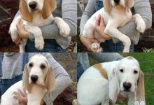 Inzercia psov: Štěňata francouzského honiče Porcelaine