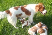 Inzercia psov: PRODÁM ŠTĚŇATA BRETAŇSKÉHO OHAŘE S PP