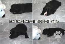 Inzercia psov: Stafordširský bulteriér fenečka a pejsek volný