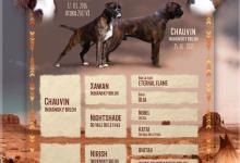 Inzercia psov: predám šteniatka nem. boxera s PP