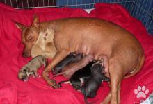 Inzercia psov: Zadáme šteňatá peruánskeho naháča