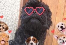 Inzercia psov: Ruská barevná bolonka - šteniatka s PP