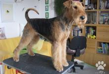 Inzercia psov: Airedaleterier-poslední dva pejsci