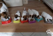 Inzercia psov: šteniatka foxteriéra hladkosrstého s PP