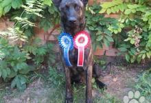 Inzercia psov: Holandský ovčiak s PP, vycvičený