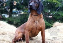 Inzercia psov: Predám šteniatka-Fenky bavorského farbiara s PP