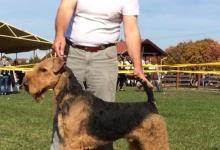 Inzercia psov: Airedale teriér šteňa na predaj
