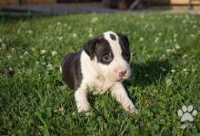 Inzercia psov: Amstaff šteniatka