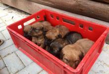 Inzercia psov: Predam steniatka stajerskeho durica