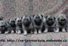 Inzercia psov: Německý špic vlčí / keeshond štěňata sPP