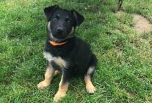 Inzercia psov: Šteniatko nemeckého ovčiaka- sučka