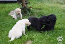 Inzercia psov: Labradorský retrívr - štěnata
