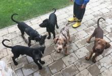 Inzercia psov: Louisiánský leopardí pes s PP