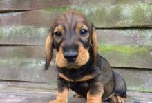 Inzercia psov: Predám šteniatko jazvečíka hrubosrstého