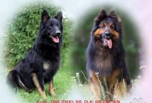 Inzercia psov: Chodský pes, šteniatka s pp