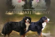 Inzercia psov: BERNSKÝ SALAŠNICKÝ PES - šteniatka s PP (FCI)
