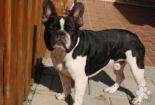 Inzercia psov: Francúzsky buldoček s PP - psík
